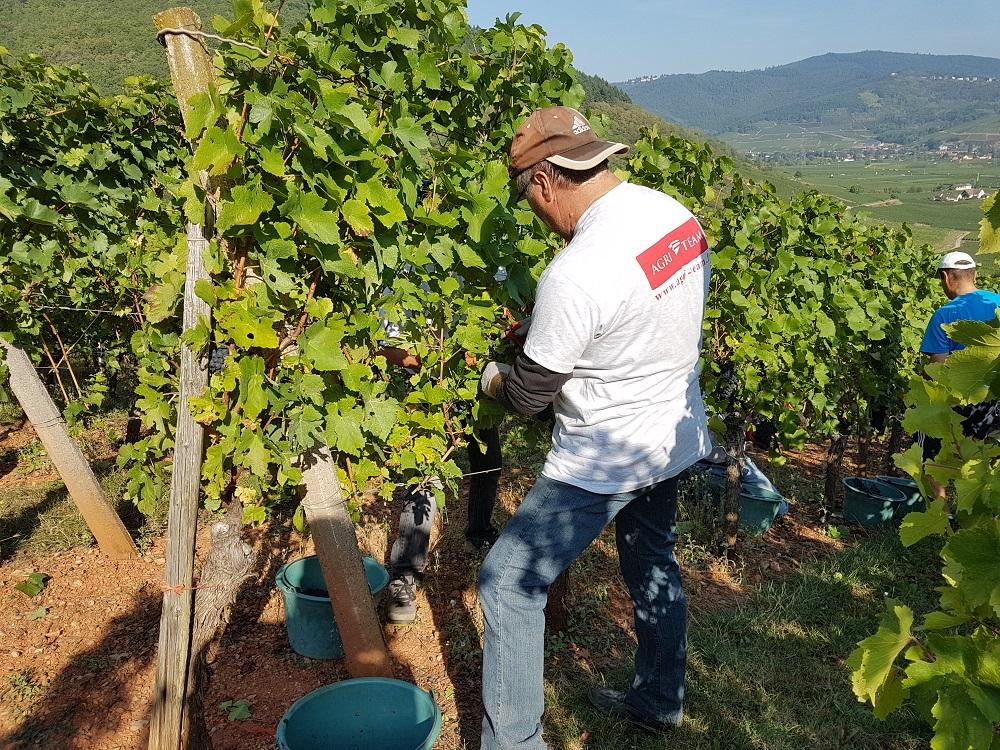 AGRI TEAM vendanges Alsace job